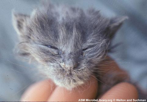 Ринит у кошек лечение в домашних условиях