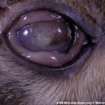 герпесвирус кошек feline herpesvirus вирусный ринотрахеит