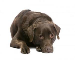 Yersinia, Иерсиниоз собак, животных, Псевдотуберкулез кошек, собак