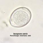 Cystoisospora canis