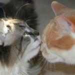 Вирусная лейкемия (лейкоз) кошек