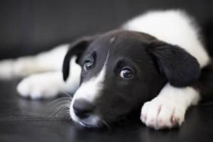 неоспороз собак, аборты сук, neospora caninum