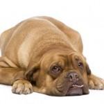 парвовироз собак, парвовируснфый энтерит, диарея понос у щенка