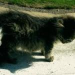 Вирусный перитонит кошек (ВПК)