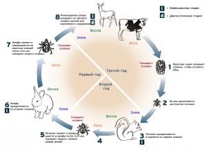 Цикл развития клещей