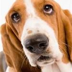 токсоплазмоз собак, toxoplasma gondii