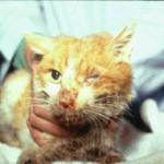 ВИК вирусный иммунодефицит кошек лентивирус feline immunodeficiency virus СПИД кошек