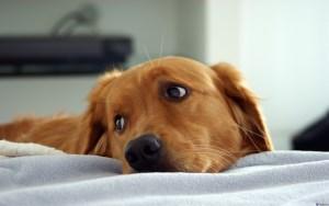 щенок лабрадора ретривера