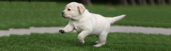 Лабрадор: собака президентов и королей