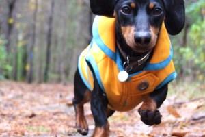 Порода собак: такса
