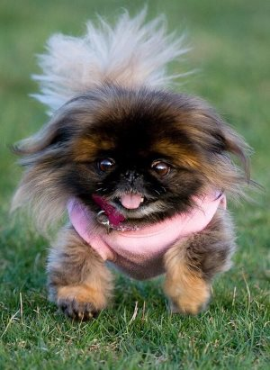 порода собак - пекинес