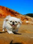 Пекинес: собака императоров