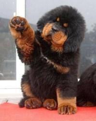щенок тибетского мастиффа