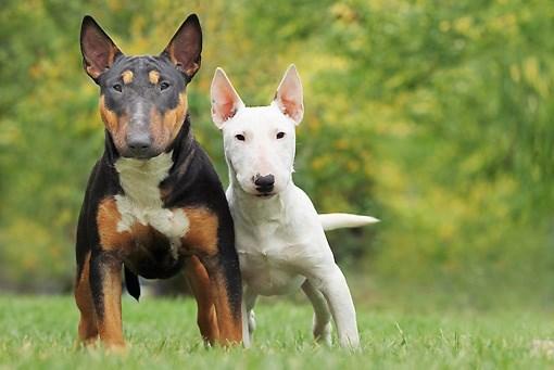 Собаки - бультерьер