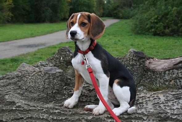 Порода собак: бигль