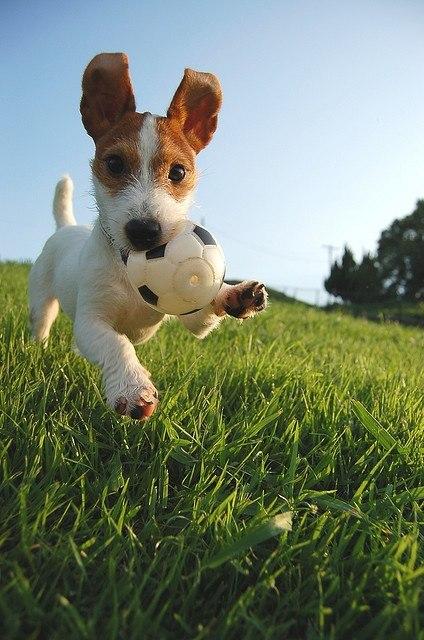 Порода собак: Джек-Рассел-терьер