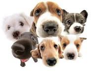 LAMP в диагностике дирофиляриоза собак