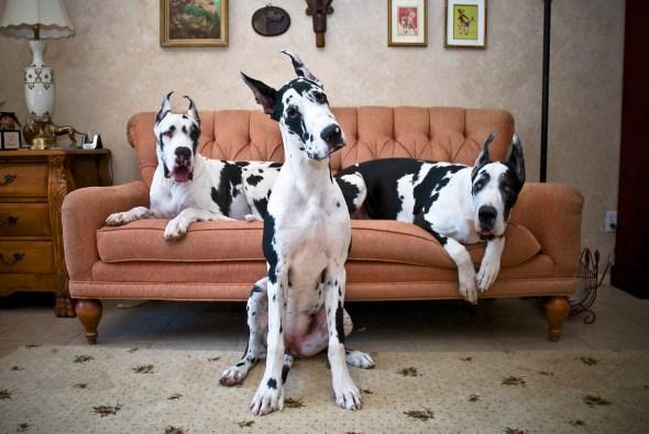 Порода собак: немецкий дог