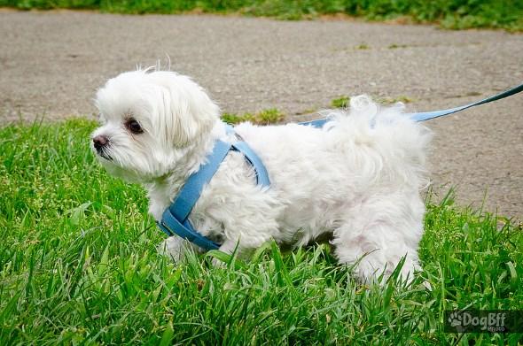 Порода собак: мальтийская болонка