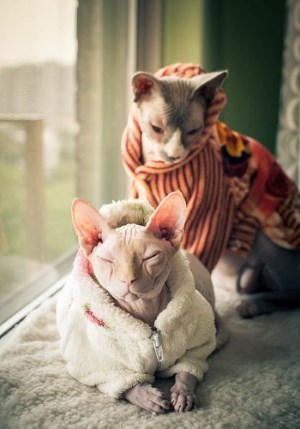 Кошки Сфинкс