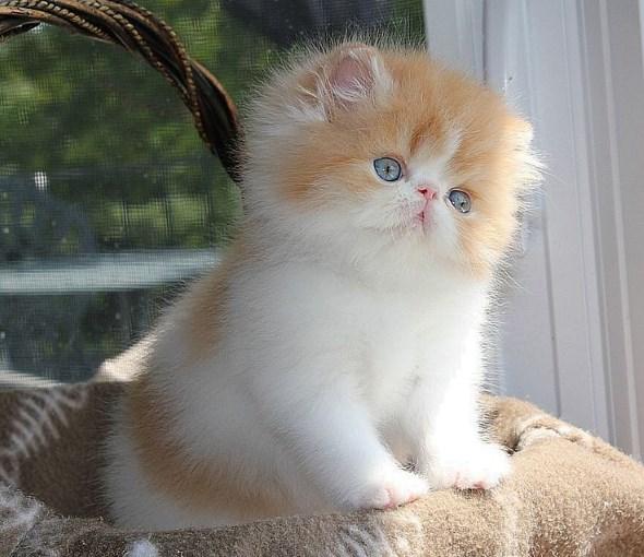 Котенок персидской кошки